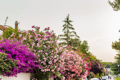 Oleander flowers and bougainvillea glabra Royalty Free Stock Image