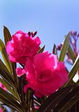 Oleander flowers and buds with sky. Oleander flowers and buds with blue sky background Stock Photography