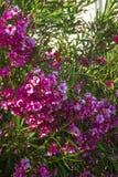 Oleander flowers bush bloom summer subtropics royalty free stock photos