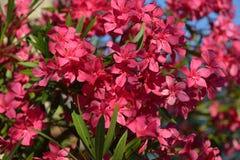 Oleander Flowers. Flowering oleander garden. Background Royalty Free Stock Photo