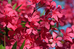 Oleander Flowers. Flowering oleander garden Stock Photos