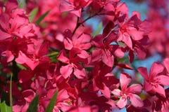 Oleander Flowers. Flowering oleander garden. Background Stock Photos