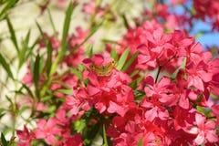 Oleander Flowers. Flowering oleander garden. Butterfly. Oleander Flowers. Flowering oleander garden background Stock Photo