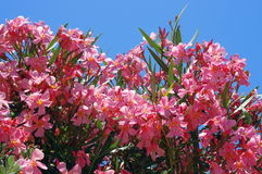 Oleander flowers, on blue background Royalty Free Stock Image
