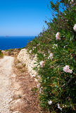 Oleander flowers on old stone fence near road on Malta island Stock Photography