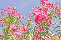 Oleander flowers of a pink Stock Photography