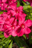 Oleander Flowers Royalty Free Stock Image