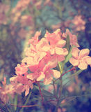 Oleander flowers,pink Royalty Free Stock Photo