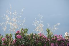 Oleander flowers on sky background Royalty Free Stock Photography