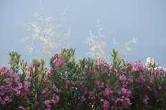 Oleander flowers on sky background Royalty Free Stock Photo