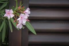 Oleander flowers stock images