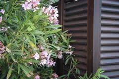 Oleander flowers royalty free stock images