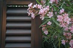 Oleander flowers royalty free stock photos