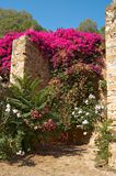Oleander on fortress wall Stock Images