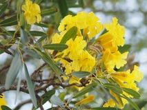 Oleander Apocynaceae Oleander Sweet Oleander Rose Bay yellow Flower beautiful in nature. Closeup oleander Apocynaceae Oleander Sweet Oleander Rose Bay royalty free stock images
