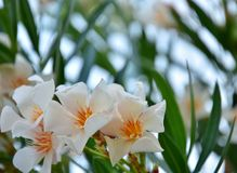 Oleander in full bloom, close up. Oleander with white and orange flowers shot during summertime with blurred natural background Royalty Free Stock Photo