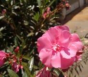 Oleander, gemeiner Oleander, rosafarbener Lorbeer, rosa Oleander, rosafarbene Bucht, Hundefluch, duftender Oleander, rosafarbener stockfotos