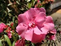 Oleander, gemeiner Oleander, rosafarbener Lorbeer, rosa Oleander, rosafarbene Bucht, Hundefluch, duftender Oleander, rosafarbener lizenzfreie stockfotos