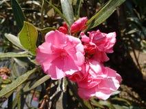 Oleander, gemeiner Oleander, rosafarbener Lorbeer, rosa Oleander, rosafarbene Bucht, Hundefluch, duftender Oleander, rosafarbener lizenzfreie stockbilder