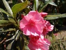Oleander, gemeiner Oleander, rosafarbener Lorbeer, rosa Oleander, rosafarbene Bucht, Hundefluch, duftender Oleander, rosafarbener stockfotografie