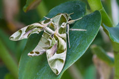 Oleander Hawk-moth or army green moth Royalty Free Stock Photo