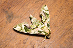 Oleander Hawk-moth or army green moth (Daphnis nerii Royalty Free Stock Images