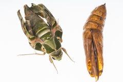 Oleander hawk-moth or army green moth Royalty Free Stock Photo