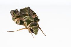 Oleander hawk-moth or army green moth Stock Images
