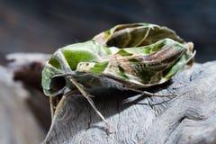 Oleander hawk-moth or army green moth Stock Image