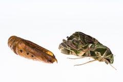 Oleander hawk-moth or army green moth Royalty Free Stock Image