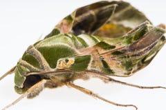 Oleander hawk-moth or army green moth Stock Photos