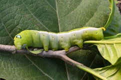 Oleander Hawk-moth Caterpillar Stock Images