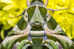 Oleander Hawk-moth Stock Image