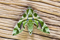Oleander Hawk-moth Stock Photos