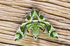 Oleander Hawk-moth Stock Photos
