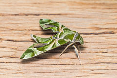 Oleander Hawk-moth Stock Images
