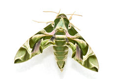 Oleander Hawk moth (Daphnis nerii) stock photos