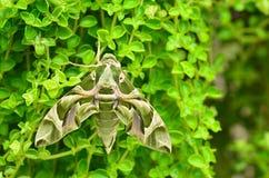 Oleander Hawk moth (Daphnis nerii) Stock Image