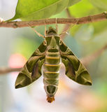 Oleander Hawk moth (Daphnis nerii). Stock Photos