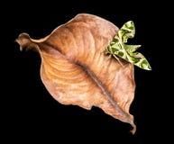 Oleander Hawk-moth Stock Photography