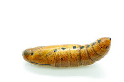 Oleander Hawk-moth pupa Royalty Free Stock Photos