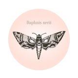 Oleander hawk moth tattoo art. Daphnis nerii. Vector illustration. Oleander hawk moth tattoo art. Daphnis nerii. Vector illustration Royalty Free Stock Photos