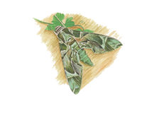 Oleander Hawkmoth Immagini Stock