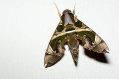 Oleander Hawkmoth stock afbeeldingen