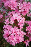 Oleander - from its leaves produce medicines. Oleander - from its leaves produce a medicines Stock Image