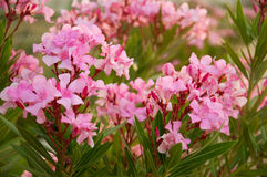 Oleander - from its leaves produce medicines. Oleander - from its leaves produce a medicines Royalty Free Stock Image