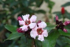 Oleander kletternd, sahnen Sie Frucht stockbilder