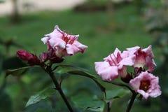 Oleander kletternd, sahnen Sie Frucht stockfotos