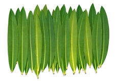 Oleander Leafs. On a white isolated Background Royalty Free Stock Photos