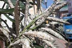 Oleander leaves densely covered with scale insects. Mealy mealybug. Stock Image